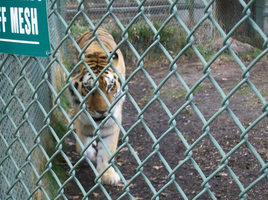 Zoo Boise: One of the Amur tigers!