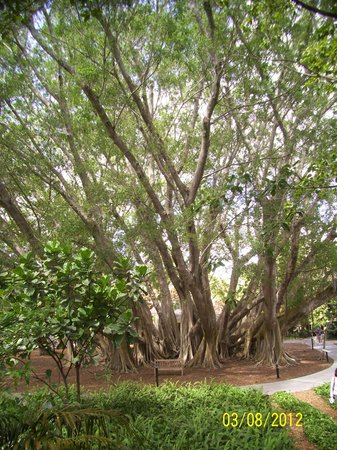 Marie Selby Botanical Gardens: Years old Banyan Tree