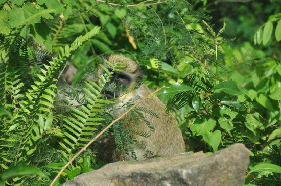 Nisbet Plantation Beach Club: Green Vervet Monkey