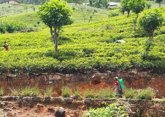 Ceylon Tea Trails: Tea plantations near Castlereagh