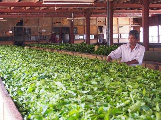 Ceylon Tea Trails: Tea tour, Norwood Estate Factory