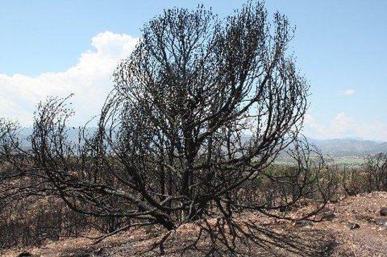 Royal Gorge Bridge and Park : Burnt Tree