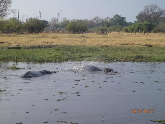 Belmond Khwai River Lodge: Hippos taken from the car