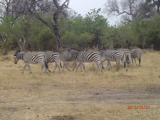 Belmond Khwai River Lodge: Zebras taken without a telephoto lens