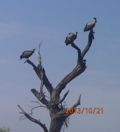 Belmond Khwai River Lodge: Vultures
