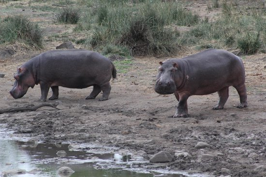 Singita Sweni Lodge: Hippos