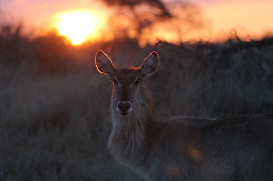 Singita Sweni Lodge: Waterbuck at sunset