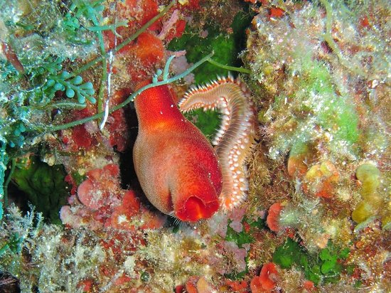 Bubbles Dive Centre : tunicate and fireworm