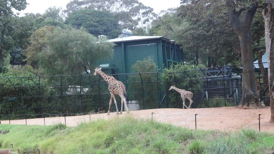 Perth Zoo: A baby giraffe following mum