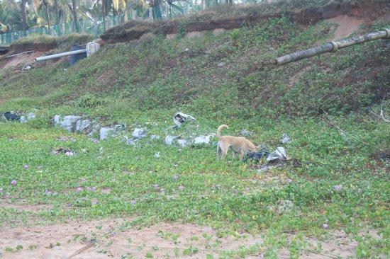 Vivanta by Taj - Fort Aguada, Goa : feral dogs and crows scavenge all day