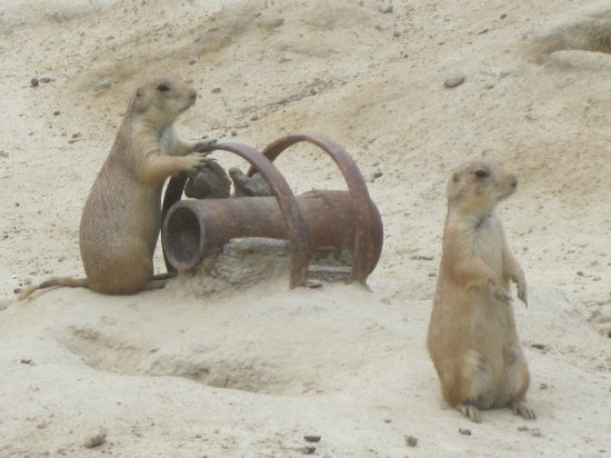 Metro Richmond Zoo: Prairie Dogs at play