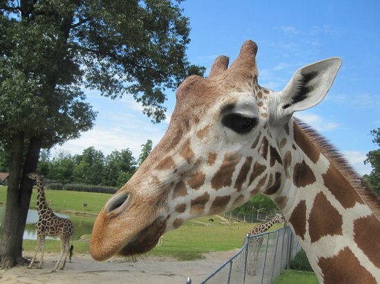 Metro Richmond Zoo: Up close with the giraffes