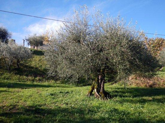 Agriturismo Etico Le Grazie: l'ulivo secolare censito