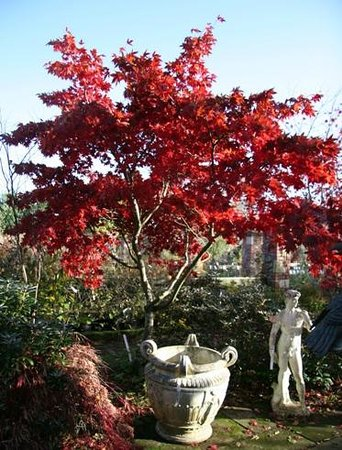 Larch Cottage Nurseries: Acer Osakazuki planted in the borders at the top of the nursery looking fantastic in the su