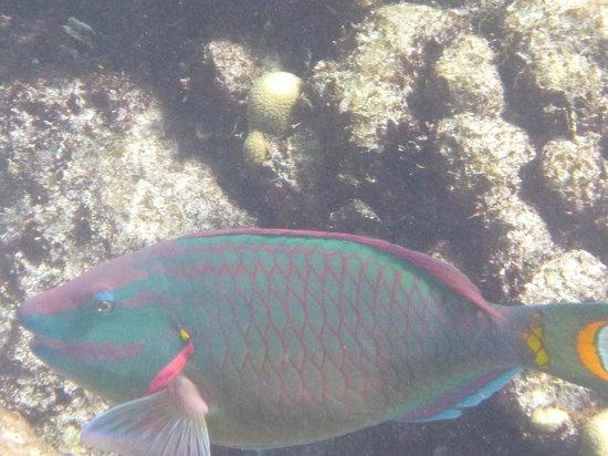 Big Beard's Adventure Tours : Stoplight Parrotfish at Buck Island