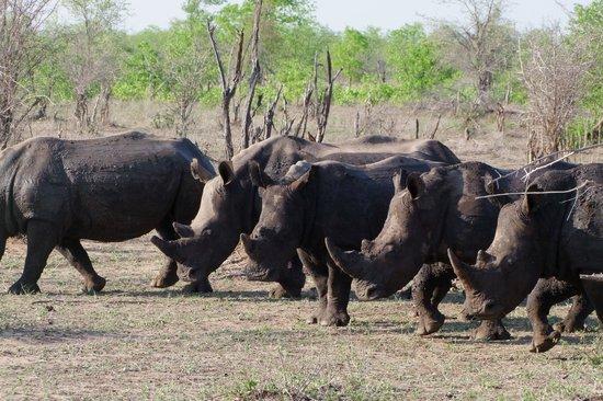 Singita Pamushana Lodge: Group of Rhinos