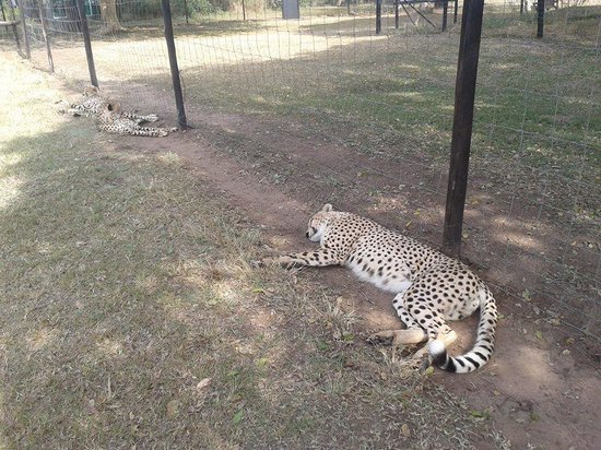 Emdoneni Lodge: Lazy cheetahs