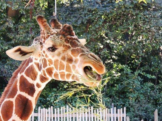 Zoo Atlanta: Feeding the giraffe