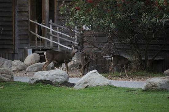 El Capitan Canyon: Deer in front of cabin