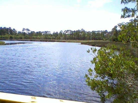 Alligator Swimming Near The Fishing Dock Picture Of