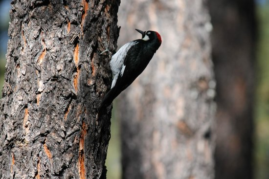 WorldMark Pinetop : Local wildlife