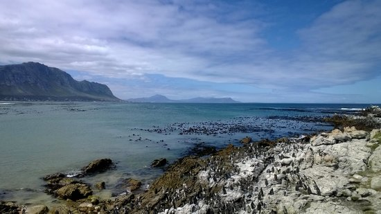 Stony Point Penguin Colony: lots of penguins to see