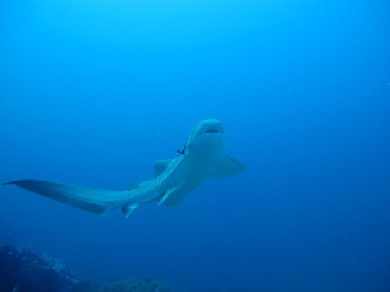 Tofo Scuba: leopard shark GS