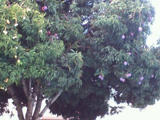 Dom Pedro I Palace Hotel: Árvore carregada de mangas