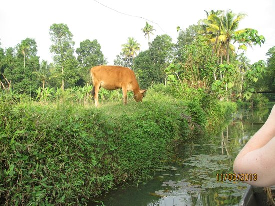 GK's Riverview Homestay: Our Bessie the cow