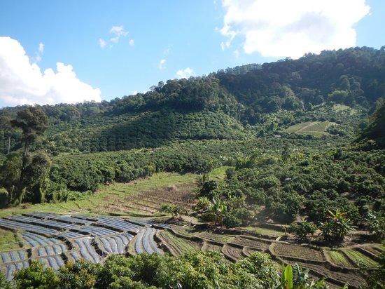 Chiang Mai Mountain Biking & Kayaks: View of the coffee plantation