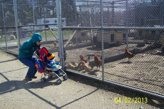 Linvilla Orchards: All kinds of chickens