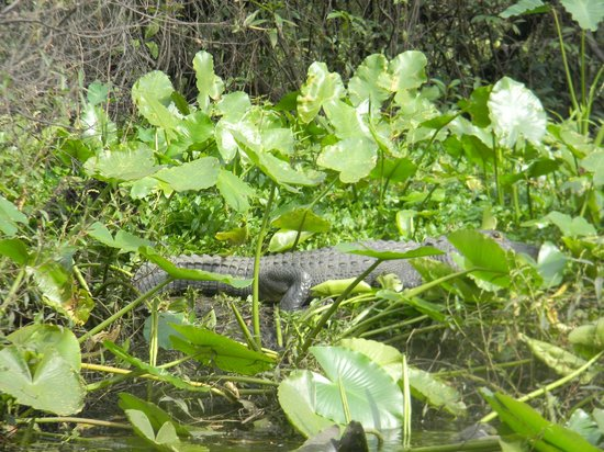 Canoe Outpost - Little Manatee River: not so little gator