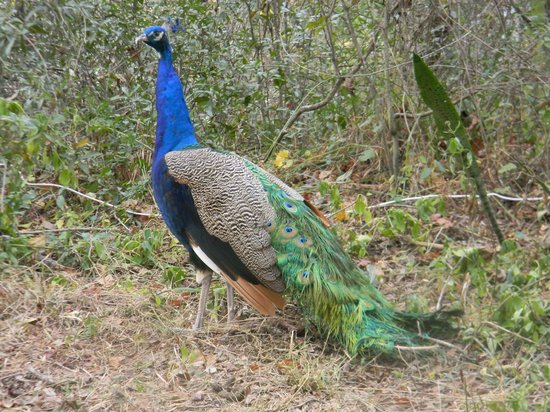 Canoe Outpost - Little Manatee River: Elvis returns...Elvis the peacock that is