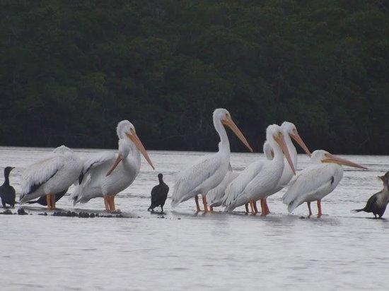 Everglades Area Tours: Pelicans