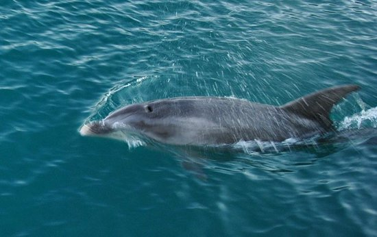 Whangaroa, New Zealand: Dolphin up for breath