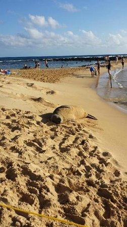 Poipu Beach Park: monk seal