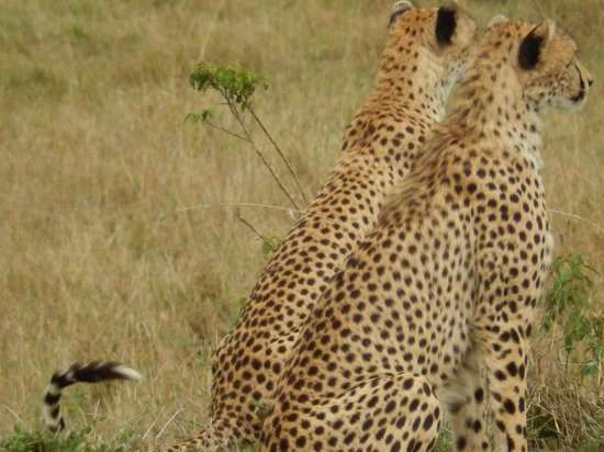Eagle View, Mara Naboisho: Cheetah we saw on our arrival