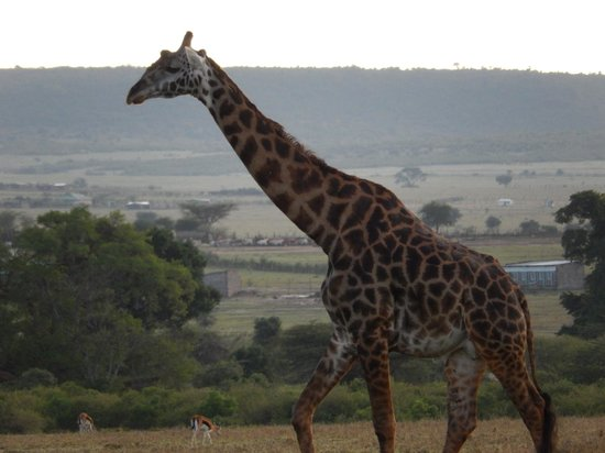Eagle View, Mara Naboisho: Tower of Giraffes right behind Maasai Mara Basecamp