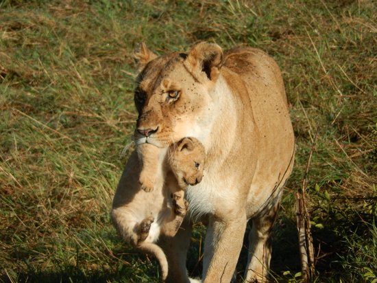 Eagle View, Mara Naboisho: Up close with a Lioness and her 4 cubs