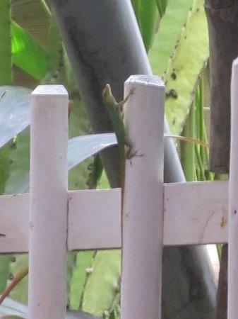 Le Toucan : lézard se promenant