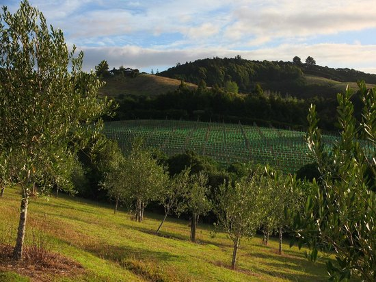 Paroa Bay Winery: The olives, the vines... almost Tuscan