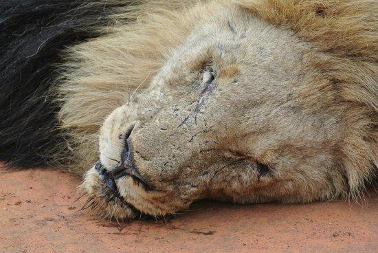 Tau Game Lodge: beat-up Lion