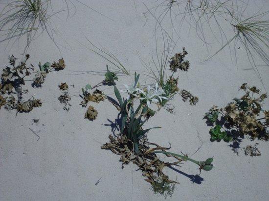 Barco Islas Cíes - Cruceros Rias Baixas: Flowers of sand