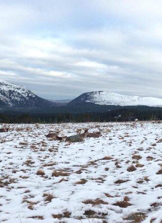 Cairngorm Reindeer Herd: Beautiful Creatures <3