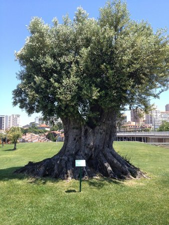 The Yeatman : Ancient Olive Tree