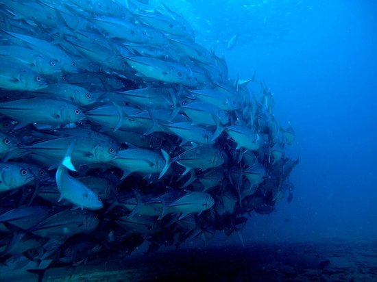 Cabo Pulmo Diving: School of Big-Eyed Jacks