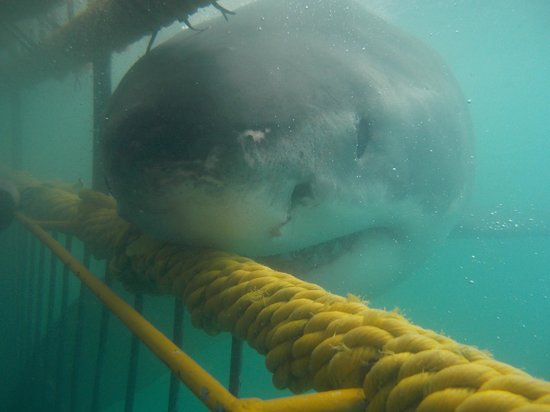 Great White Shark Tours: was nearly lunch !!