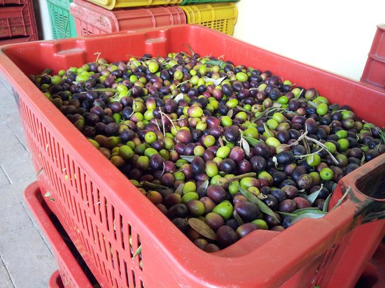 Tuscany Car Tours: Olives