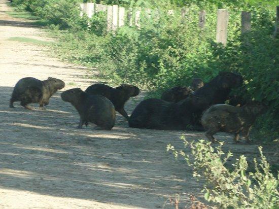 Poconé, MT: animais na beira da estrada.