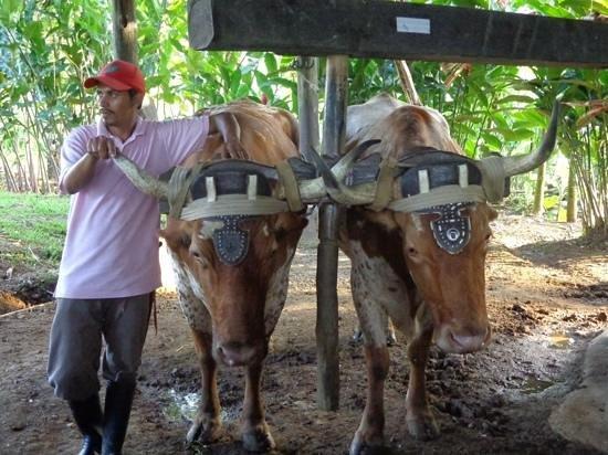 Casona Rio Fortuna: les boeufs du trapiche Costa et Rica
